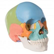 Череп людини з розфарбованими кістками