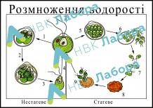 """фото - Модель-аплікація """"Розмноження водорості"""""""