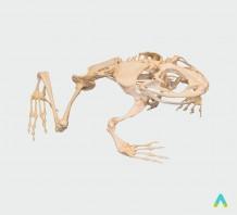 Скелети хордових. Скелет жаби