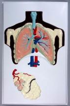 фото - Будова легенів людини