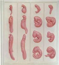 фото - Ембріональний розвиток