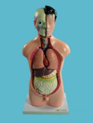 Модель Торс людини
