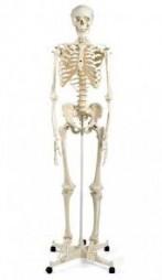 Скелет людини 85см.