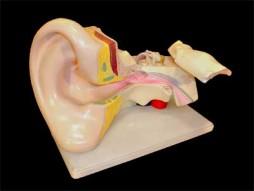 Вухо людини