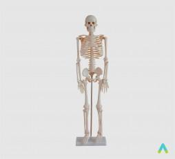 фото - Скелет людини 85см.