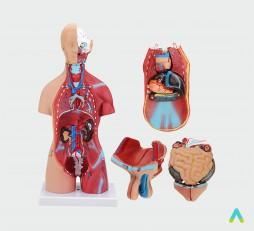 фото - Модель торс людини