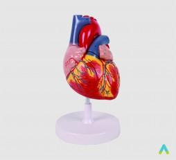 фото - Серце людини (велике)