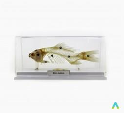 фото - Скелети хордових . Скелет риби