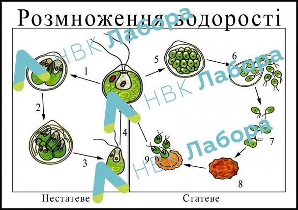 """Модель-аплікація """"Розмноження водорості"""" - фото"""