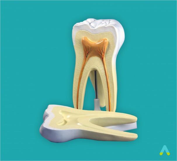 Будова зуба людини