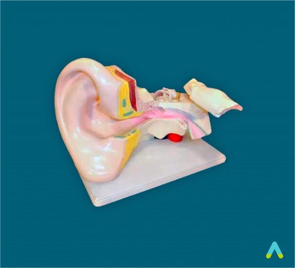 Вухо людини - фото