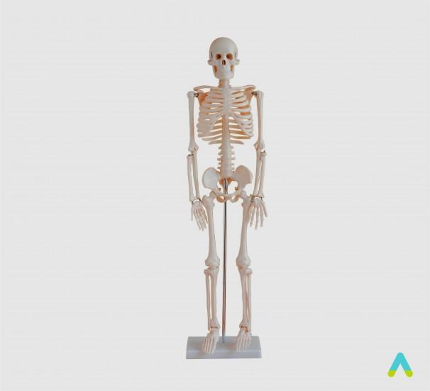 Скелет людини 85см - фото