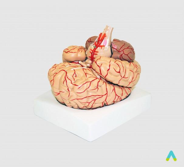 Головний мозок людини з артеріями - фото