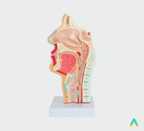 Носоглотка людини - фото