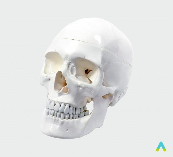 Модель Череп людини - фото