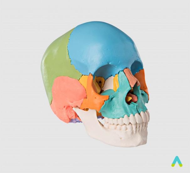 Череп людини з розфарбованими кістками - фото