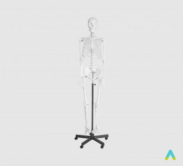 Скелет людини 170см. - фото