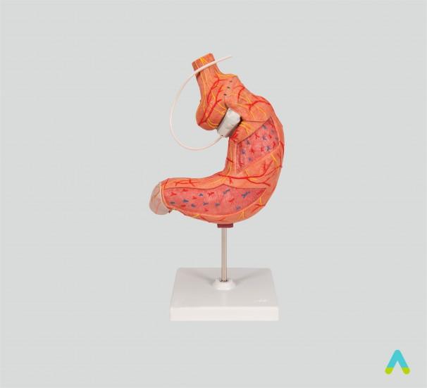 Шлунок людини