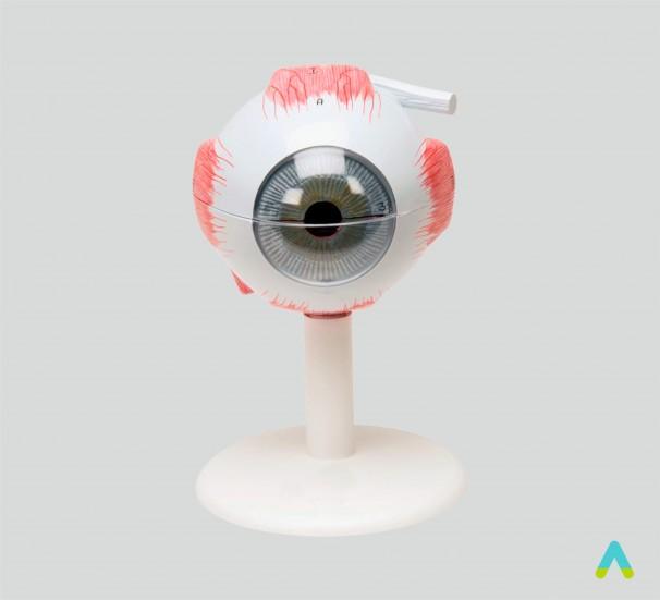 Модель ока - фото