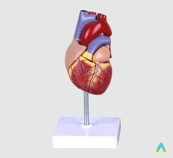 Серце людини - фото