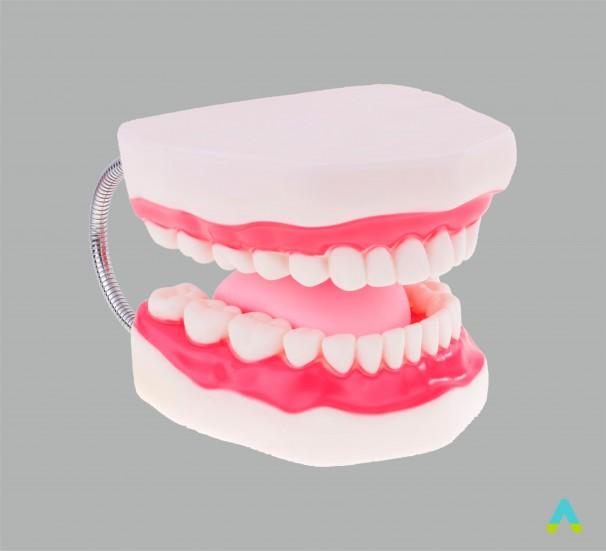 Гігієна зубів. Верхня та нижня щелепи людини
