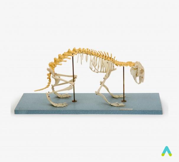 Скелети хордових. Скелет кроля - фото
