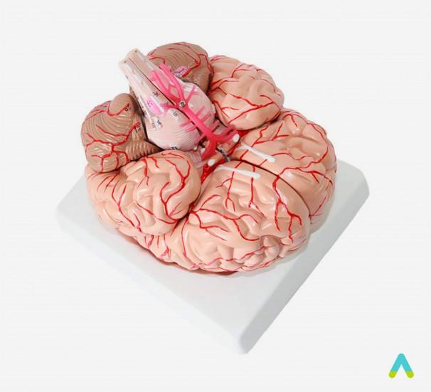 Модель Головний мозок людини - фото