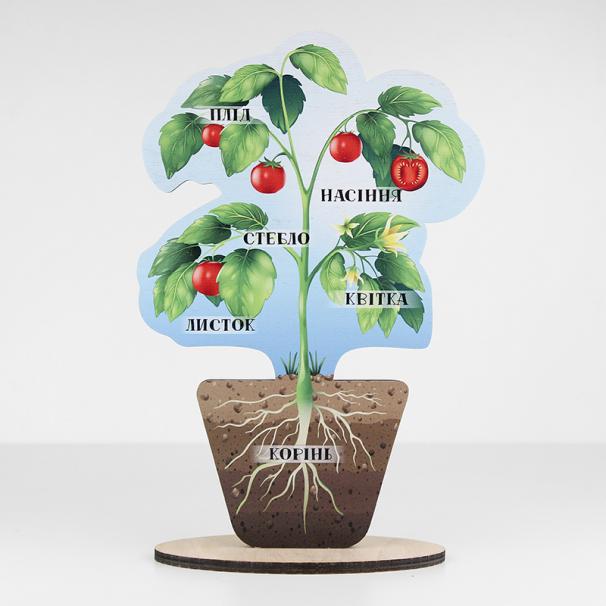 Модель рослини - фото