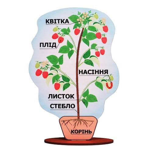 Модель будова рослини - фото